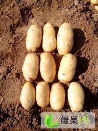 供应:山东济宁泗水荷兰系列土豆大量上市